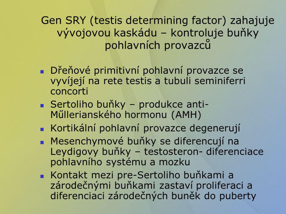 Gen SRY (testis determining factor) zahajuje vývojovou kaskádu – kontroluje buňky pohlavních provazců