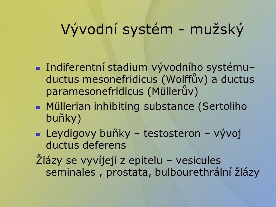 Vývodní systém - mužský