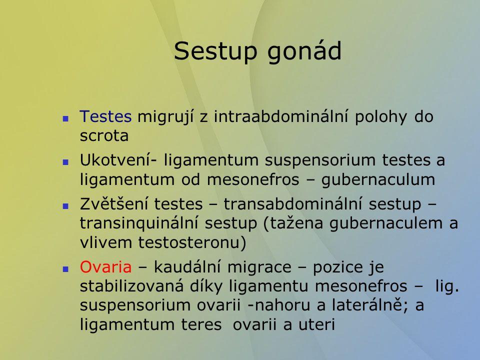 Sestup gonád Testes migrují z intraabdominální polohy do scrota