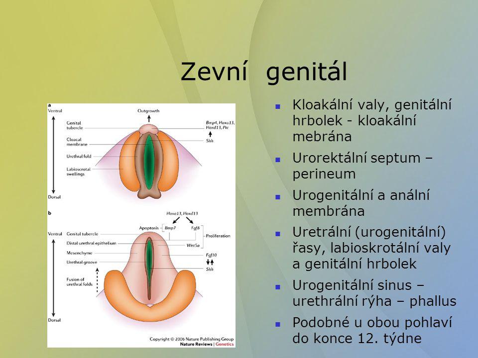 Zevní genitál Kloakální valy, genitální hrbolek - kloakální mebrána
