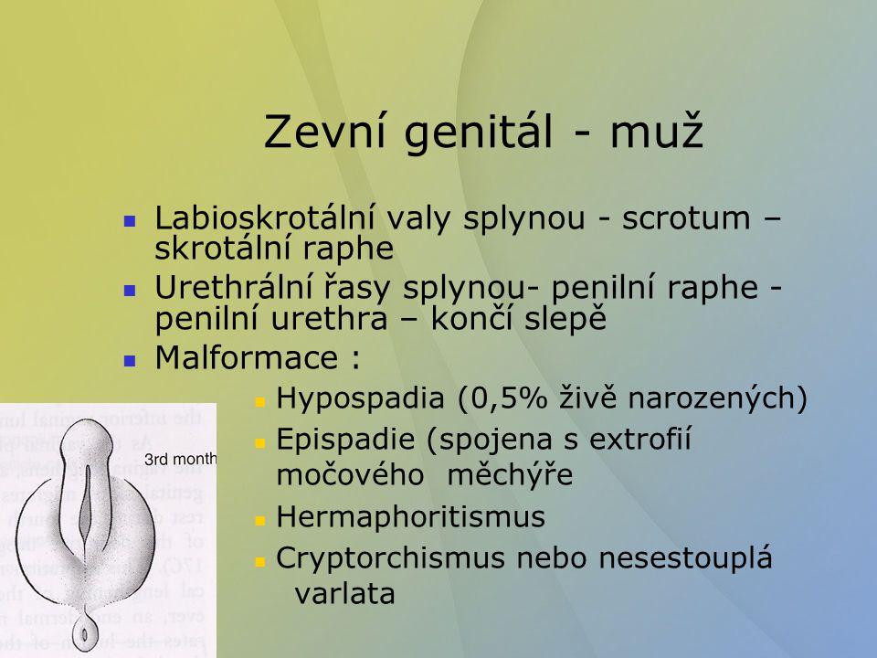 Zevní genitál - muž Labioskrotální valy splynou - scrotum – skrotální raphe.