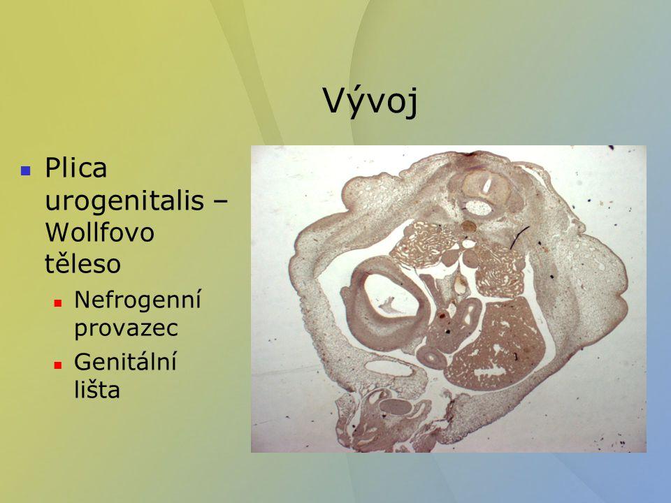 Vývoj Plica urogenitalis – Wollfovo těleso Nefrogenní provazec