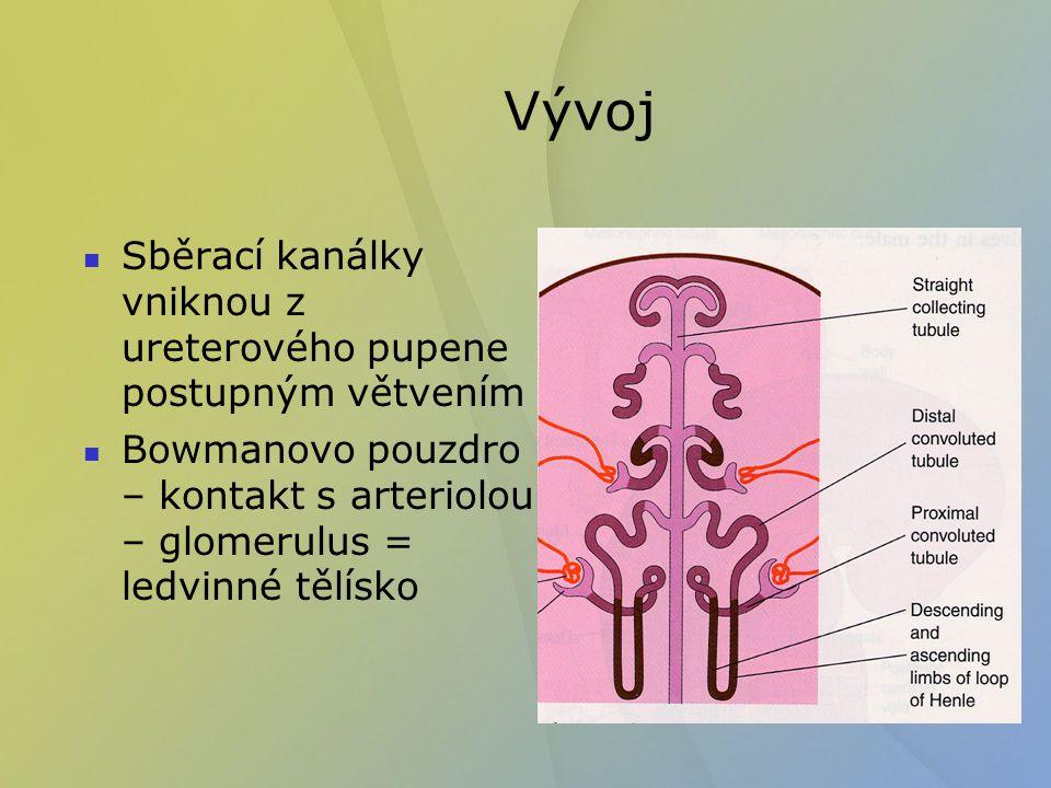 Vývoj Sběrací kanálky vniknou z ureterového pupene postupným větvením