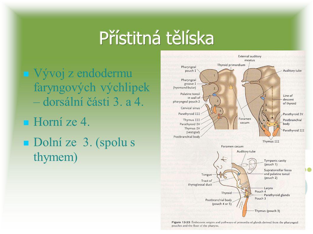 Přístitná tělíska Vývoj z endodermu faryngových výchlipek – dorsální části 3.
