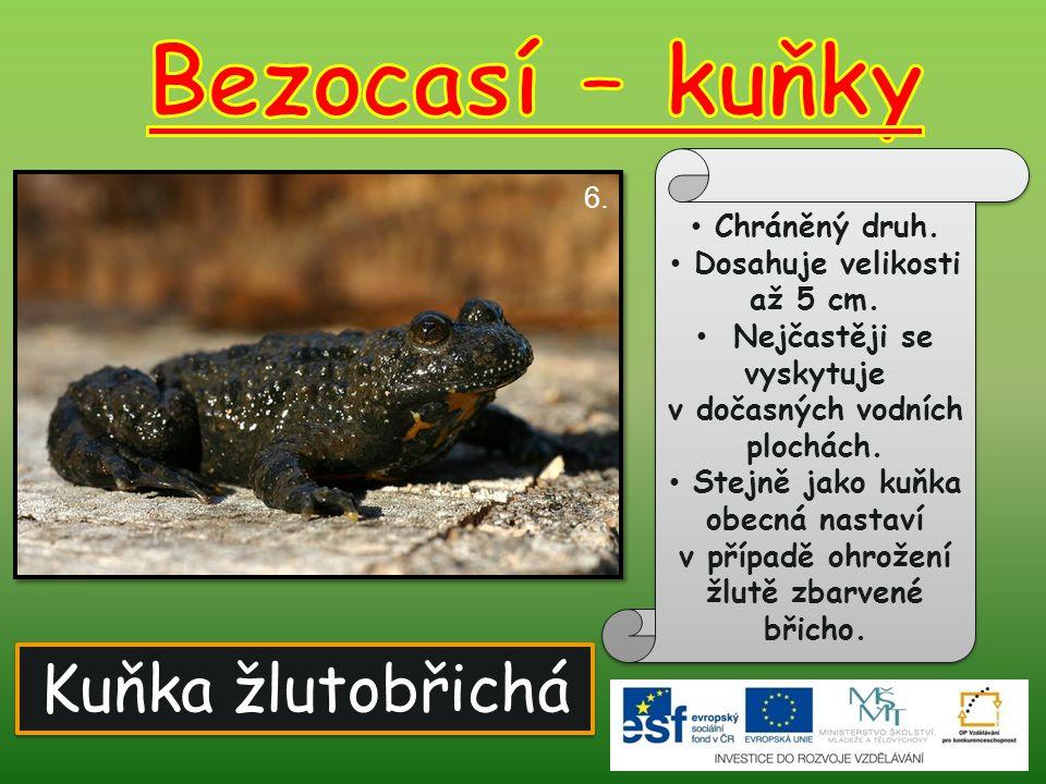 Bezocasí – kuňky Kuňka žlutobřichá Chráněný druh.