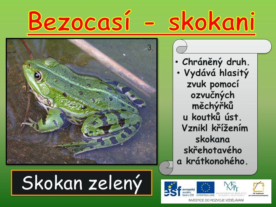 Bezocasí - skokani Skokan zelený Chráněný druh.