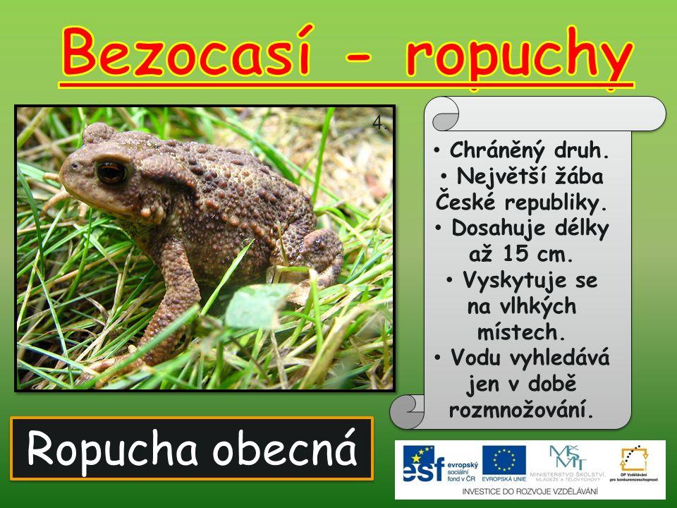 Bezocasí - ropuchy Ropucha obecná Chráněný druh.