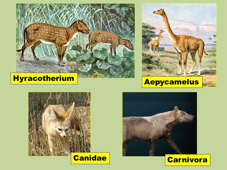 Hyracotherium Aepycamelus Canidae Carnivora