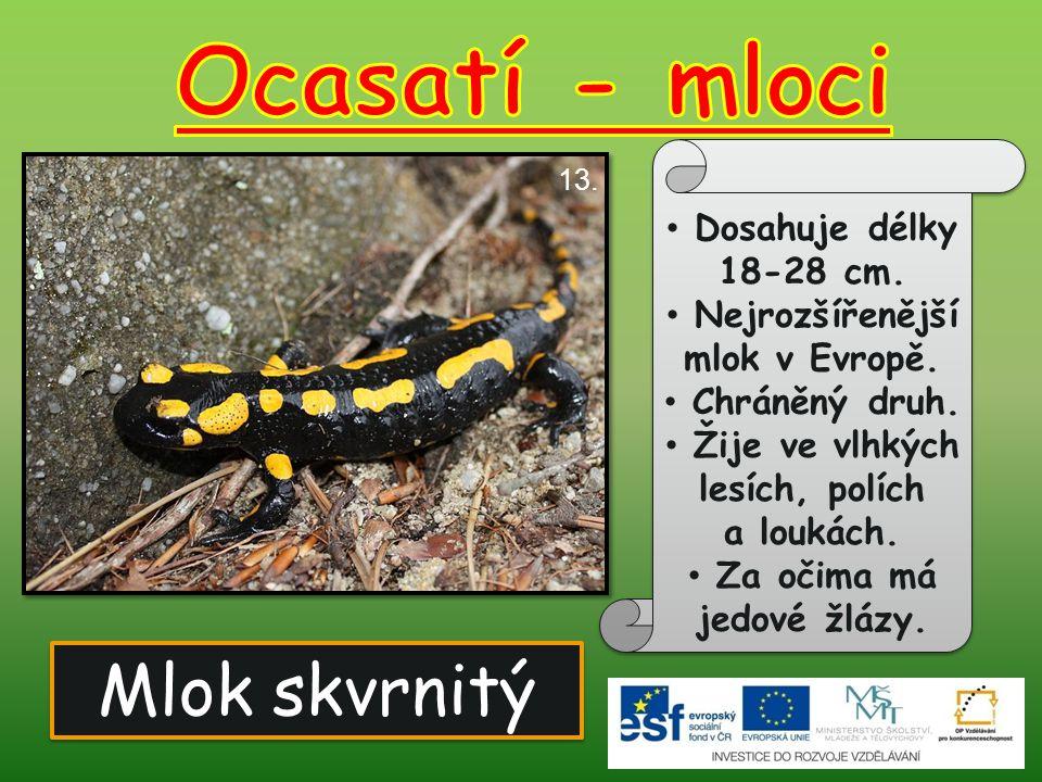 Ocasatí - mloci Mlok skvrnitý Dosahuje délky 18-28 cm.