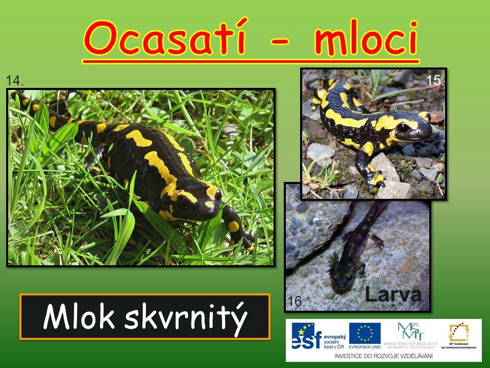 Ocasatí - mloci 14. 15. Larva 16. Mlok skvrnitý