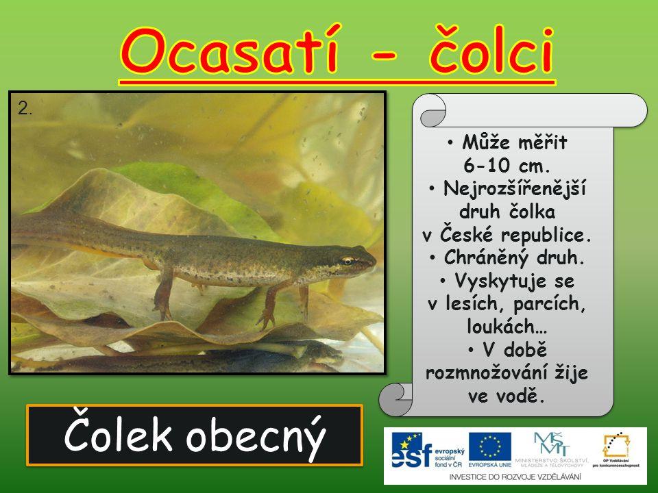 Ocasatí - čolci Čolek obecný Může měřit 6-10 cm.
