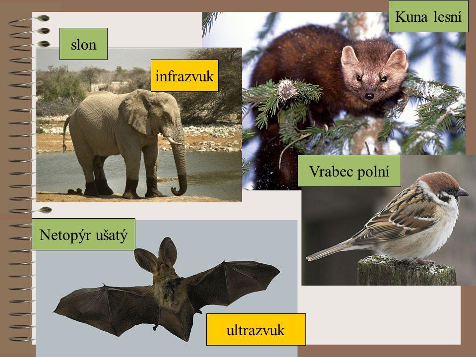 Kuna lesní slon infrazvuk Vrabec polní Netopýr ušatý ultrazvuk