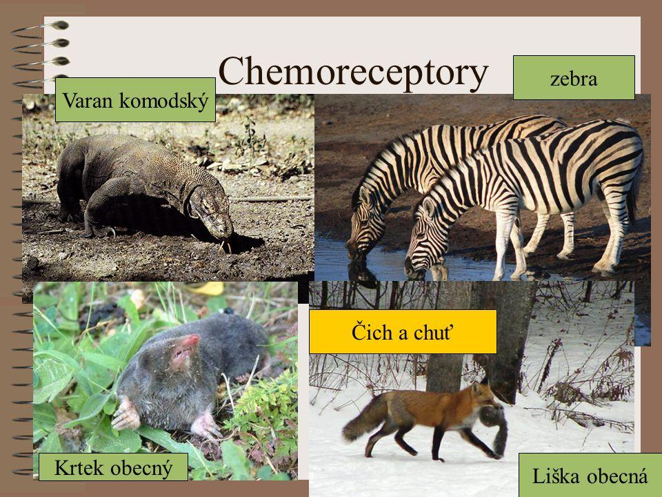 Chemoreceptory zebra Varan komodský Čich a chuť Krtek obecný