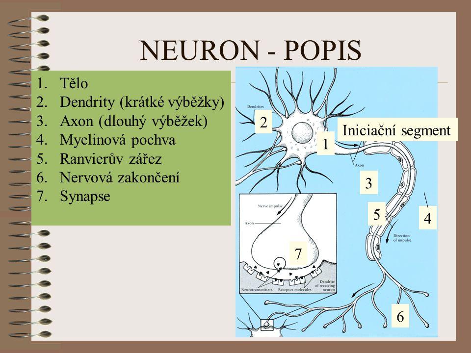 NEURON - POPIS Tělo Dendrity (krátké výběžky) Axon (dlouhý výběžek)