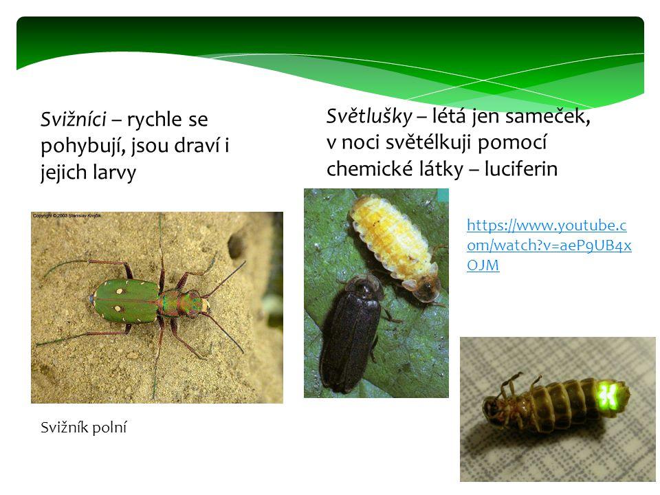 Svižníci – rychle se pohybují, jsou draví i jejich larvy