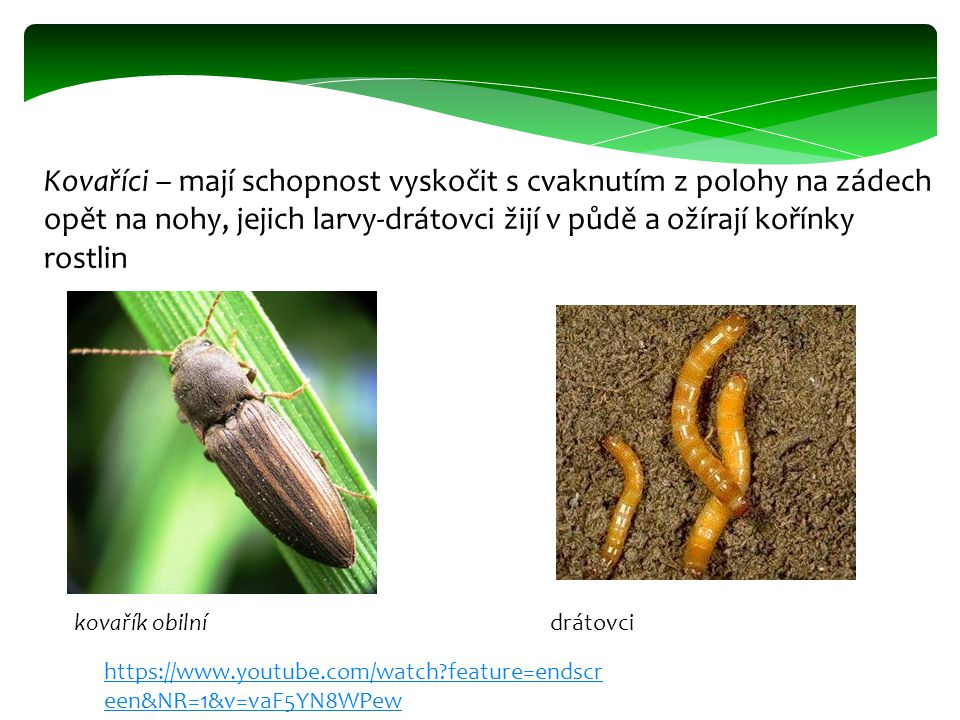 Kovaříci – mají schopnost vyskočit s cvaknutím z polohy na zádech opět na nohy, jejich larvy-drátovci žijí v půdě a ožírají kořínky rostlin