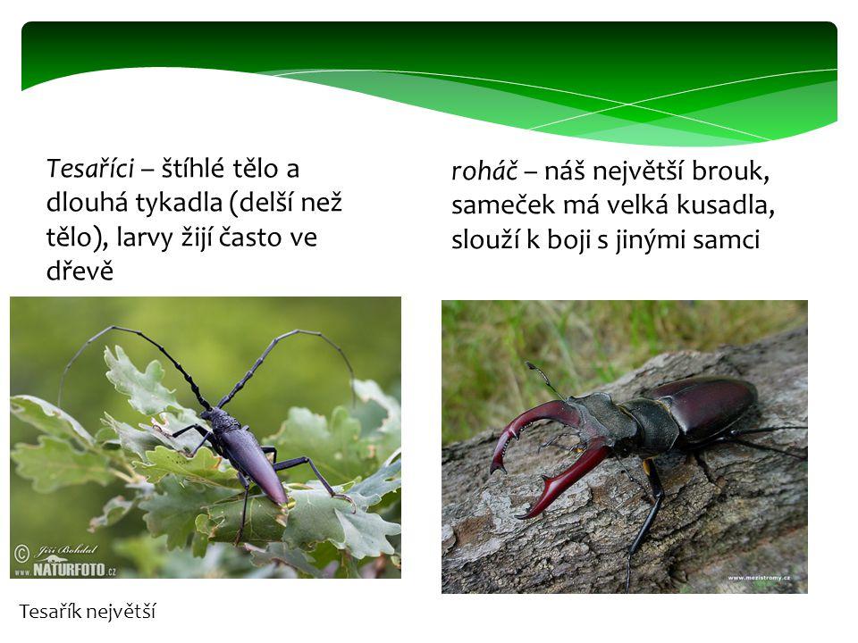 Tesaříci – štíhlé tělo a dlouhá tykadla (delší než tělo), larvy žijí často ve dřevě