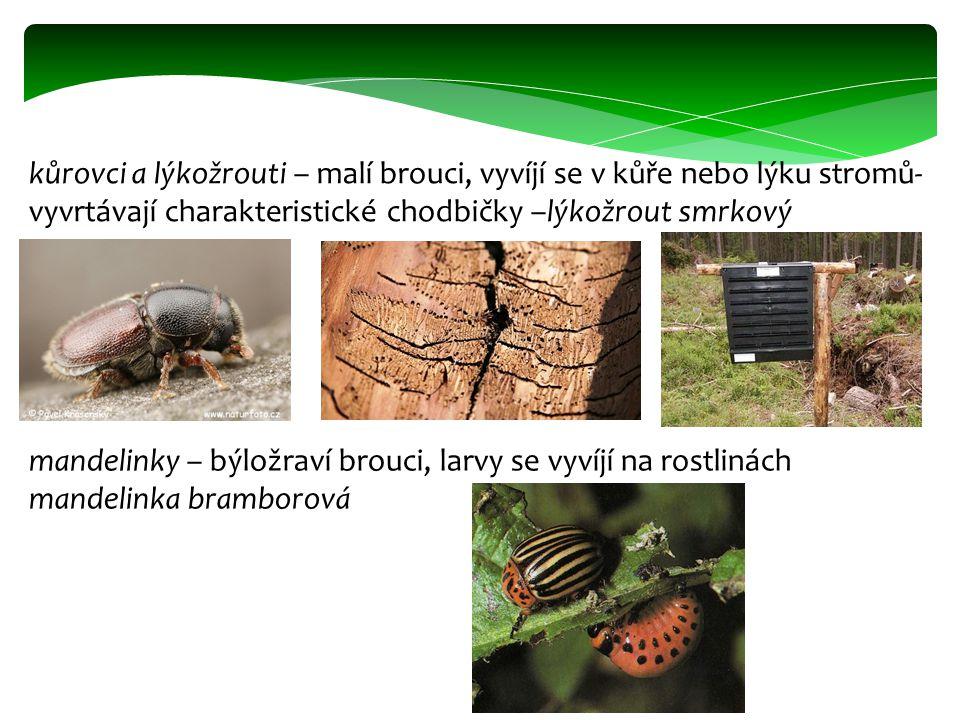 kůrovci a lýkožrouti – malí brouci, vyvíjí se v kůře nebo lýku stromů- vyvrtávají charakteristické chodbičky –lýkožrout smrkový