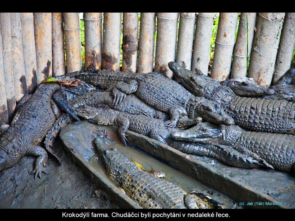 Krokodýlí farma. Chudáčci byli pochytáni v nedaleké řece.