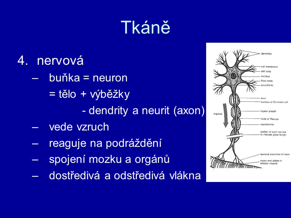 Tkáně nervová buňka = neuron = tělo + výběžky