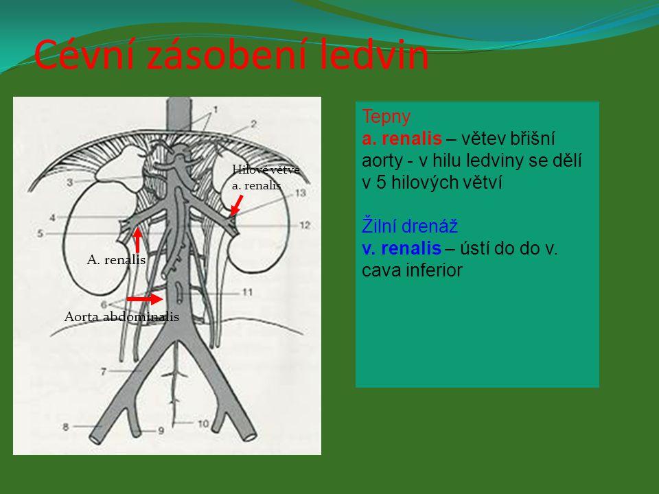 Cévní zásobení ledvin Tepny