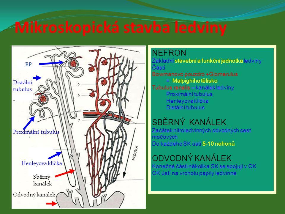 Mikroskopická stavba ledviny