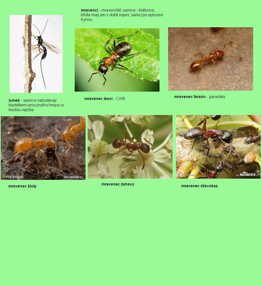 mravenci - mraveniště, samice - královna, křídla mají jen v době rojení, samci po oplození hynou