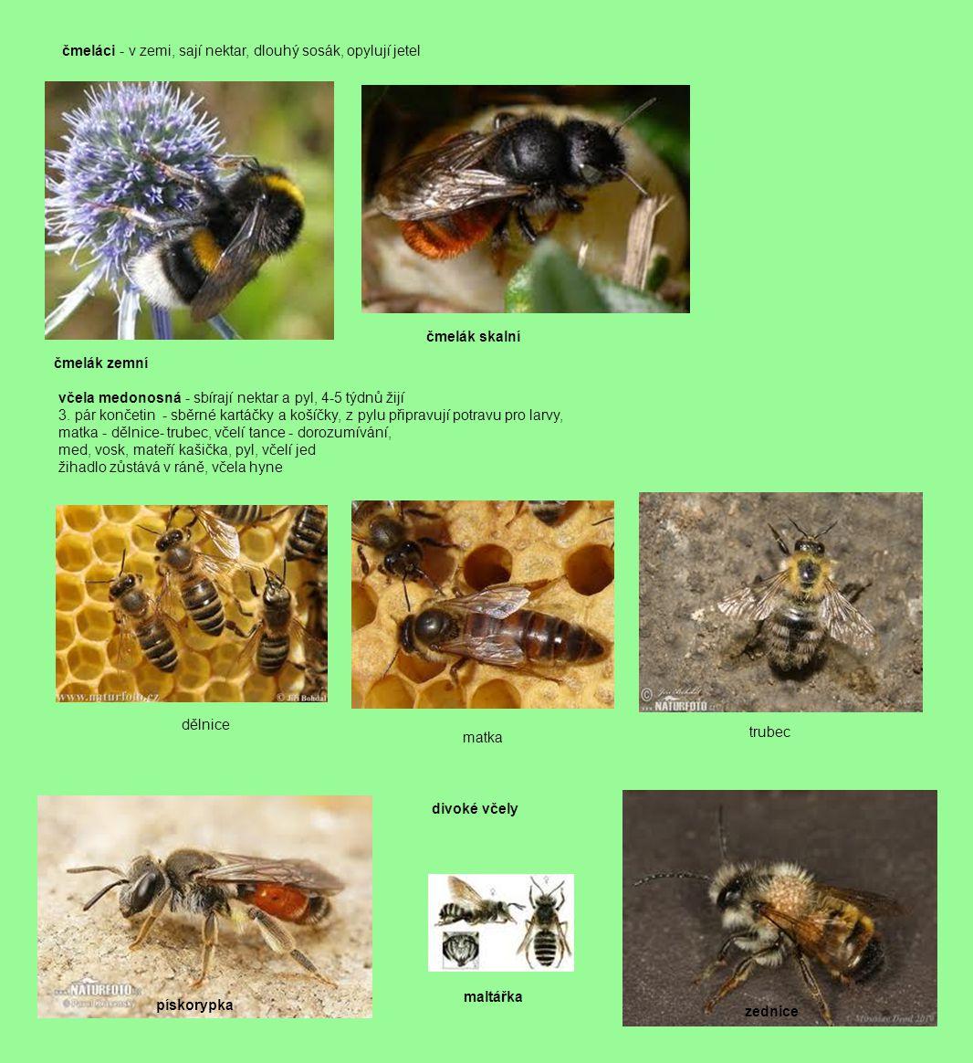 čmeláci - v zemi, sají nektar, dlouhý sosák, opylují jetel