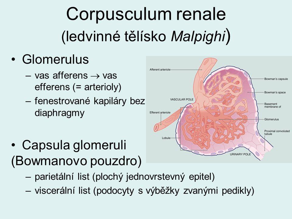 Corpusculum renale (ledvinné tělísko Malpighi)
