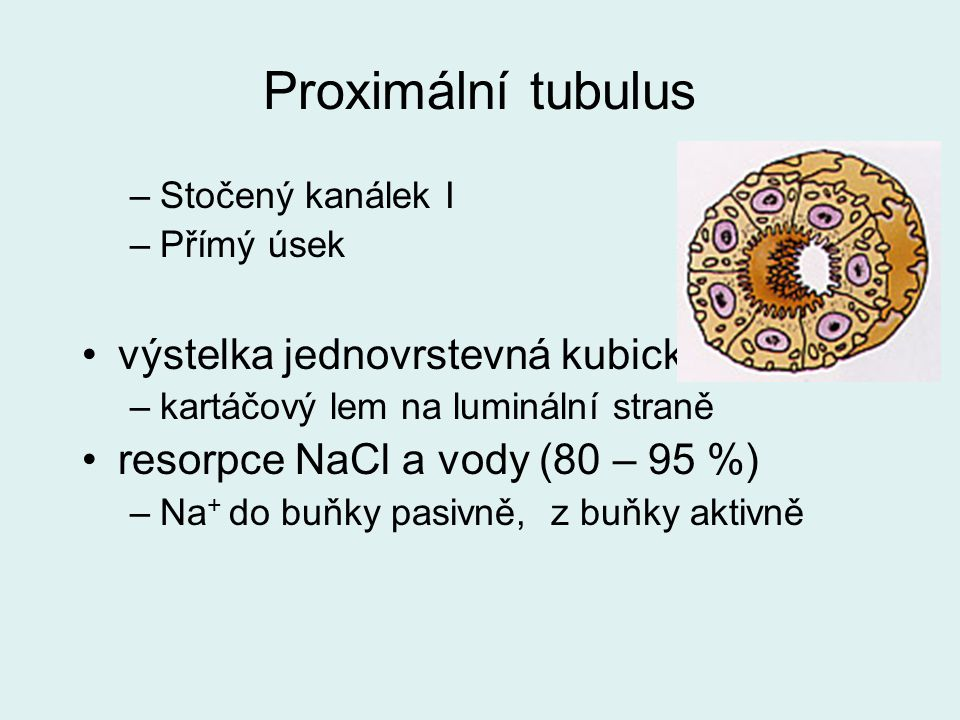 Proximální tubulus výstelka jednovrstevná kubická
