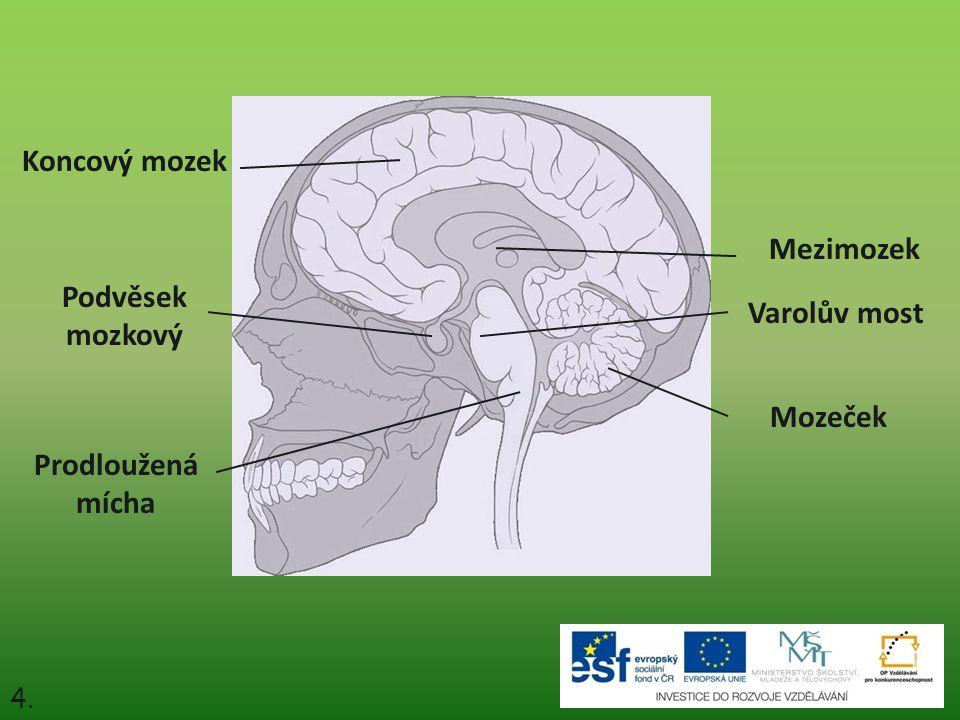 Koncový mozek Mezimozek Podvěsek mozkový Varolův most Mozeček
