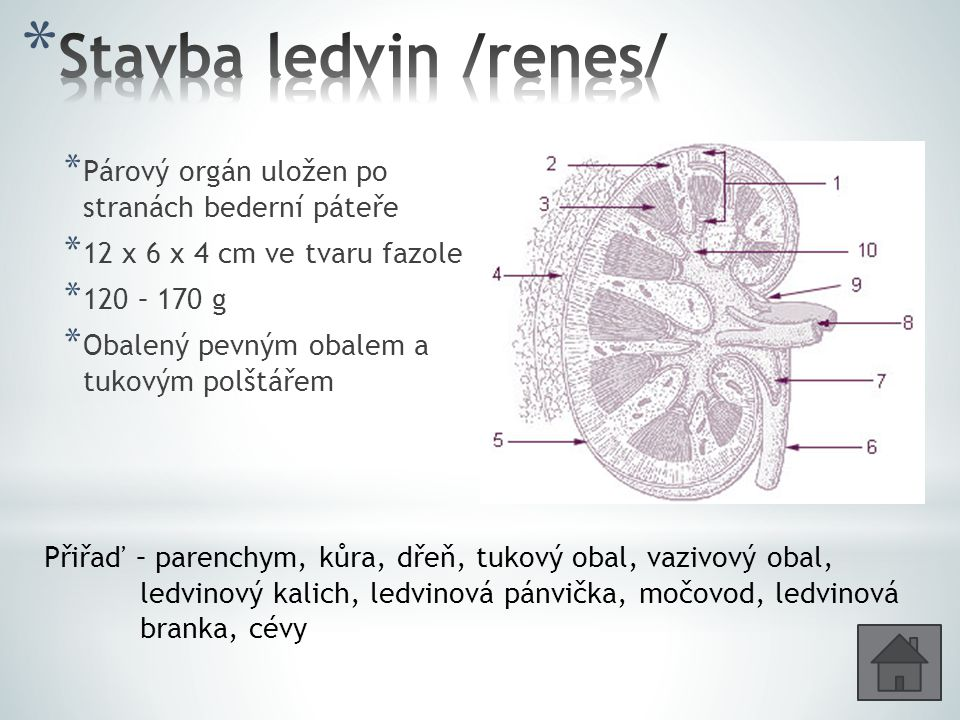 Stavba ledvin /renes/ Párový orgán uložen po stranách bederní páteře