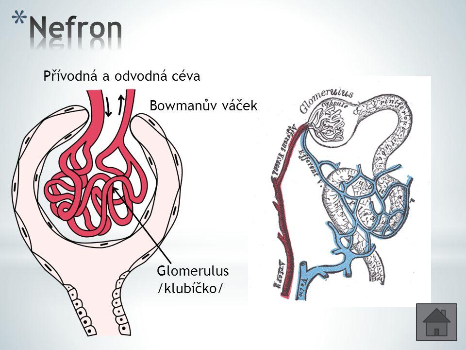 Nefron Přívodná a odvodná céva Bowmanův váček Glomerulus /klubíčko/