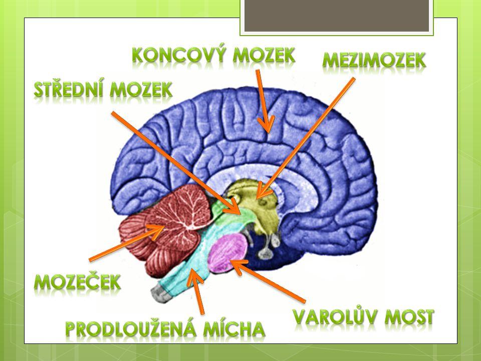 Koncový mozek mezimozek střední mozek mozeček Varolův most Prodloužená mícha