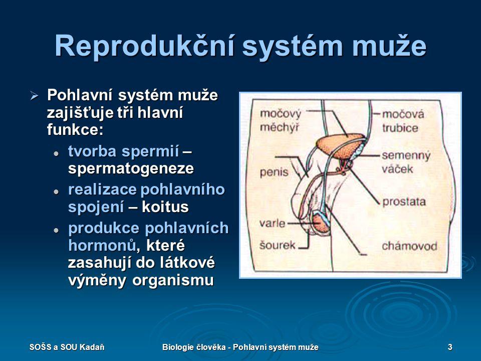 Reprodukční systém muže