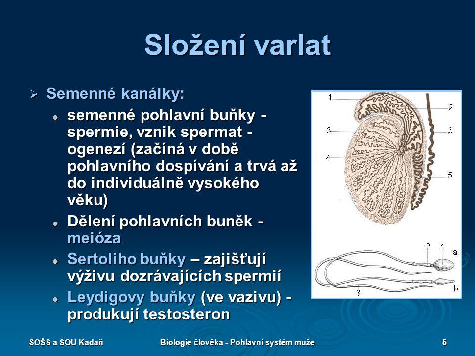 Biologie člověka - Pohlavní systém muže