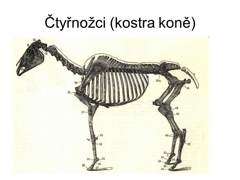 Čtyřnožci (kostra koně)