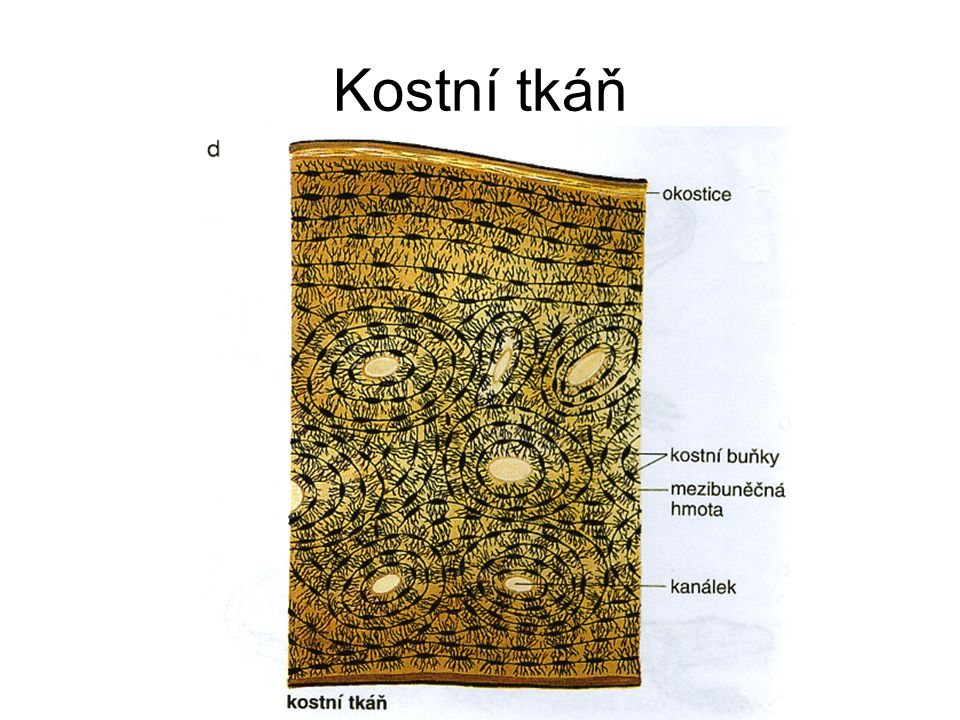 Kostní tkáň