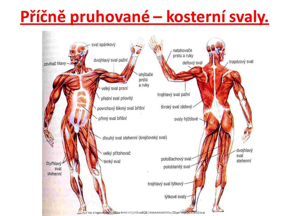 Příčně pruhované – kosterní svaly.