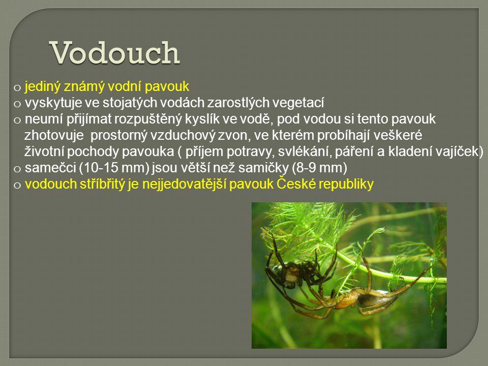 Vodouch jediný známý vodní pavouk