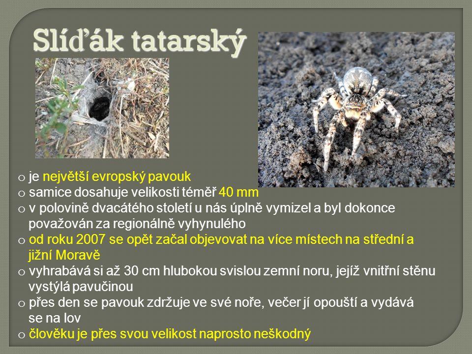 Slíďák tatarský je největší evropský pavouk