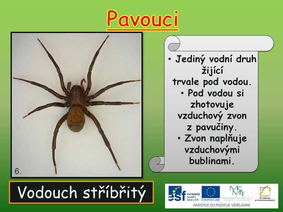 Pavouci Vodouch stříbřitý Jediný vodní druh žijící trvale pod vodou.