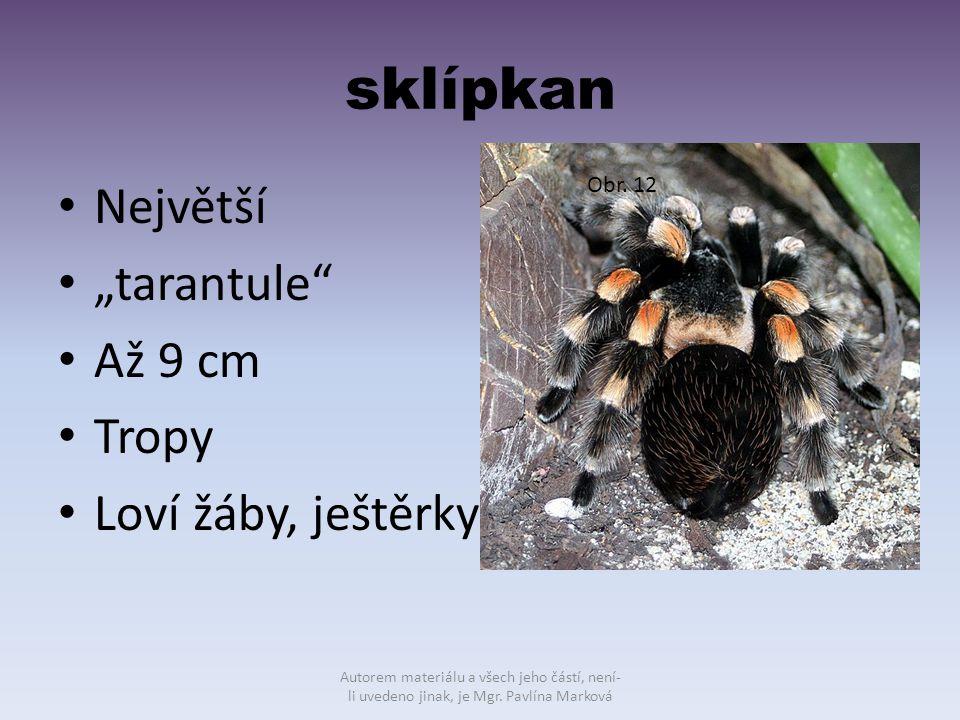 """sklípkan Největší """"tarantule Až 9 cm Tropy Loví žáby, ještěrky"""