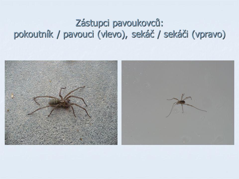 Zástupci pavoukovců: pokoutník / pavouci (vlevo), sekáč / sekáči (vpravo)