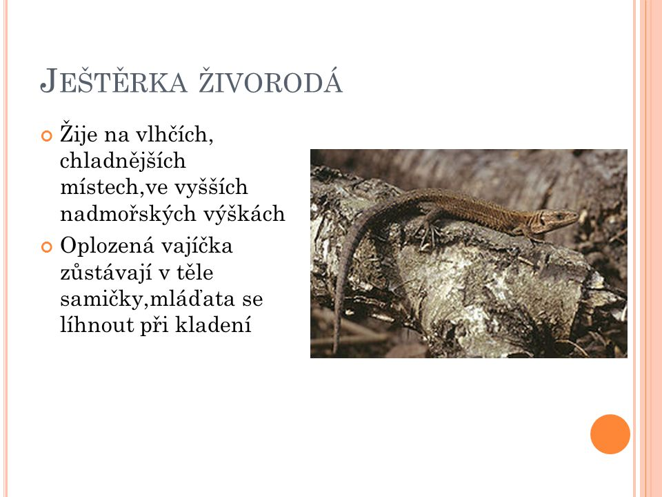 Ještěrka živorodá Žije na vlhčích, chladnějších místech,ve vyšších nadmořských výškách.