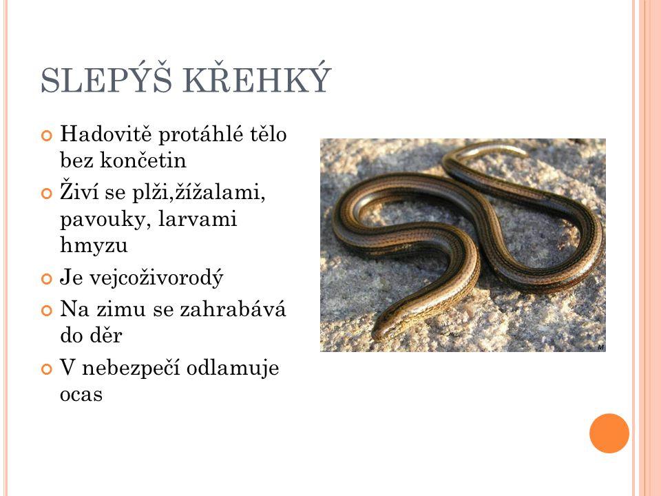 SLEPÝŠ KŘEHKÝ Hadovitě protáhlé tělo bez končetin