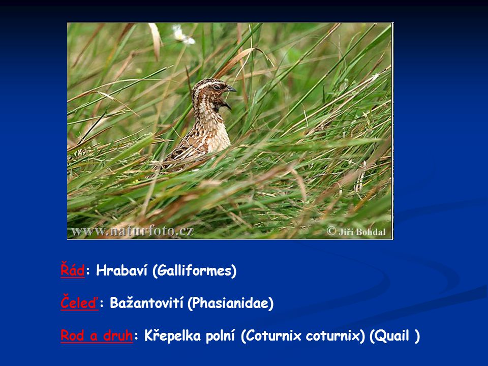 Řád: Hrabaví (Galliformes)