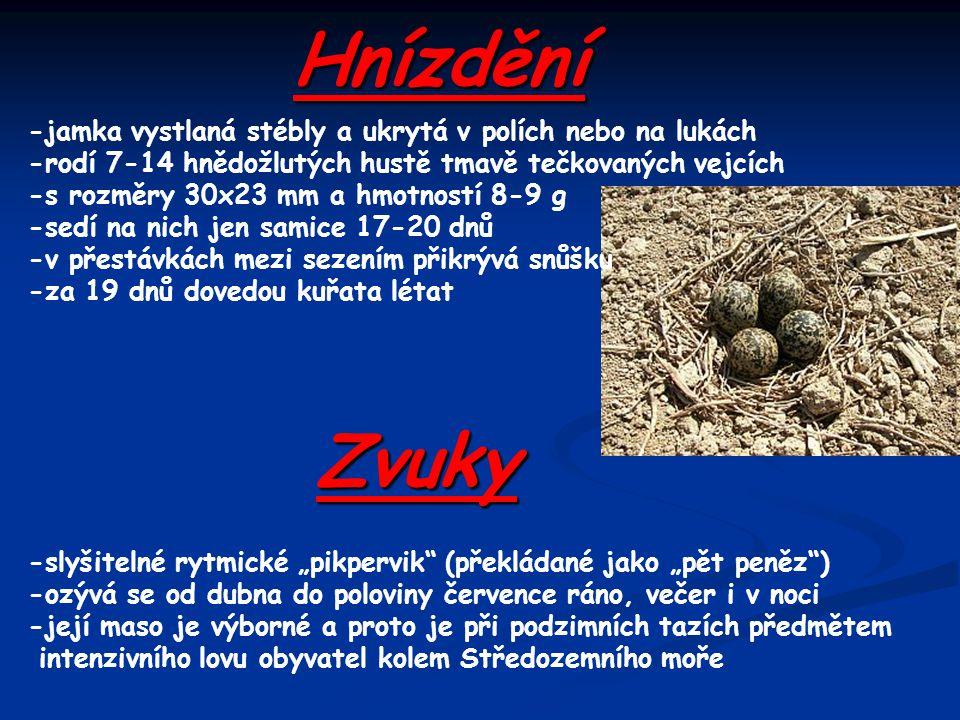 Hnízdění Zvuky -jamka vystlaná stébly a ukrytá v polích nebo na lukách