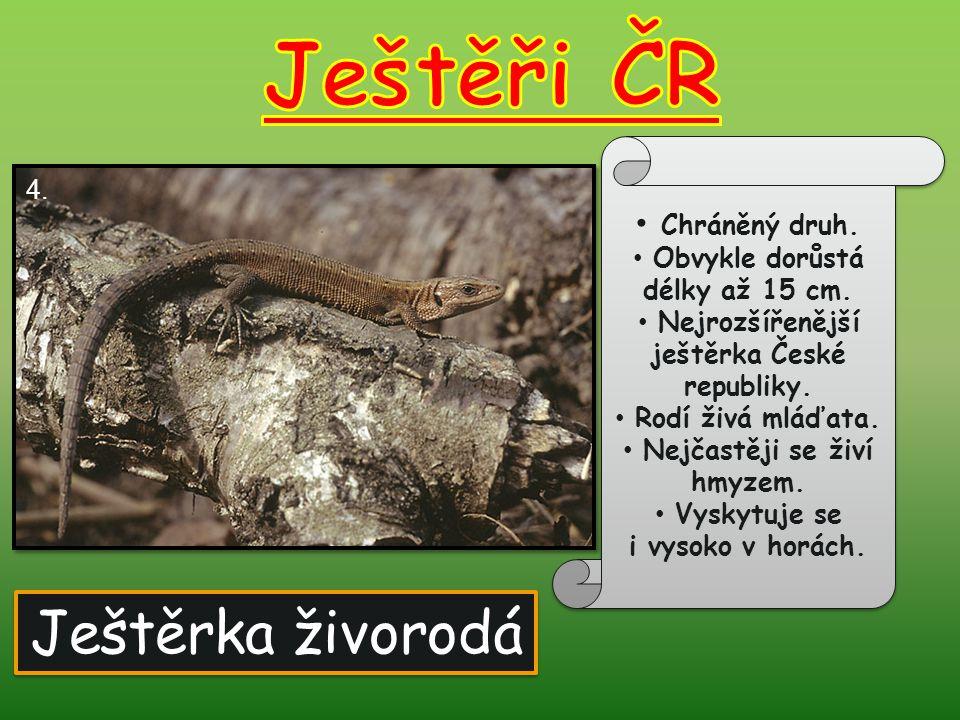 Ještěři ČR Ještěrka živorodá Chráněný druh. 4.