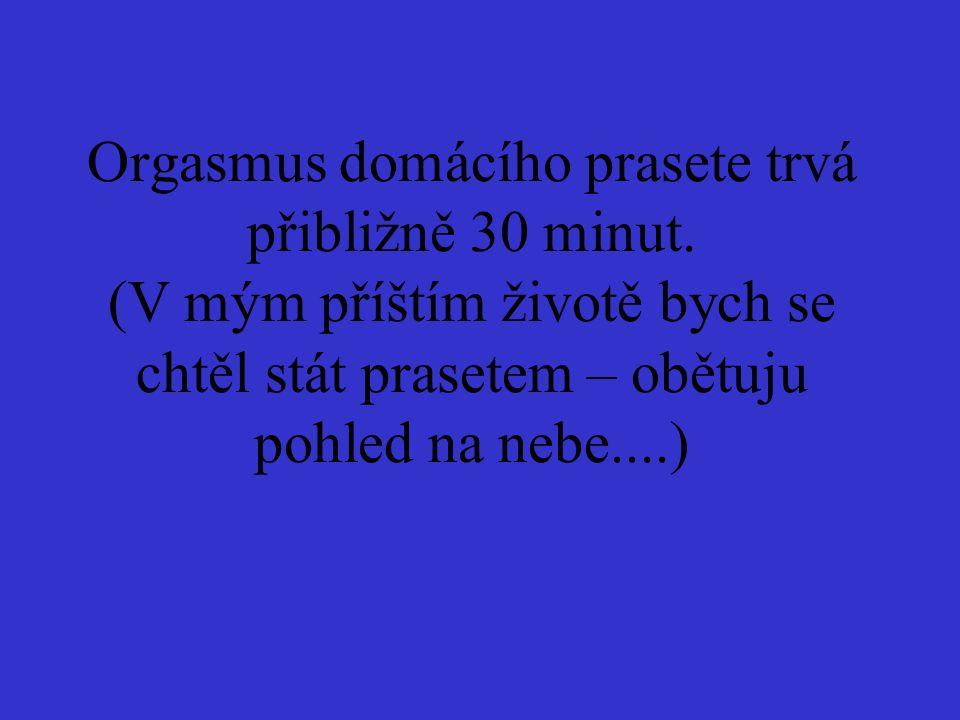 Orgasmus domácího prasete trvá přibližně 30 minut